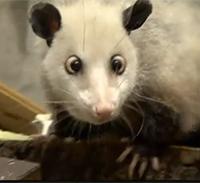 Heide, das schielende Opossum, hatte bereits einen Song, Foto: Screenshot von www.youtube.de