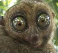 Koboldmaki haben alienartige Augen, Foto: Screenshot von www.youtube.de
