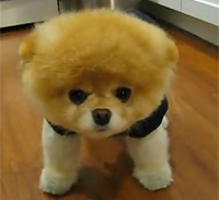 """Wenn Boo einen Knopf im Ohr hätte, wäre er ein """"Steiff""""-Tier, Foto: Screenshot von www.youtube.de"""