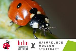 Der Siebenpunkt-Marienkäfer (Coccinella septempunctata), Foto: SMNS / HdM, Aron Bellersheim.